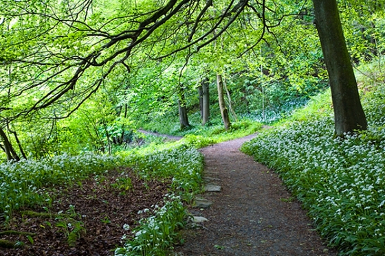 Wild Garlic in Strid Wood