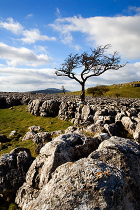 Lone Tree and Limestone Pavement - Afternoon