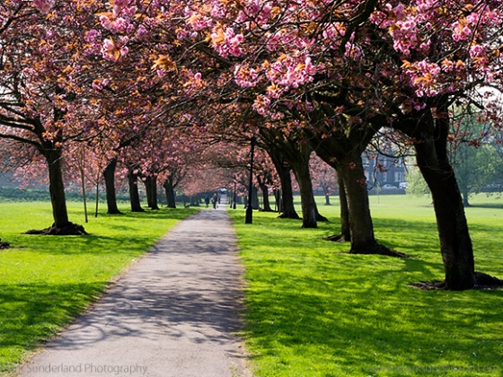 Cherry Blossom on The Stray in Spring Harrogate North Yorkshire England