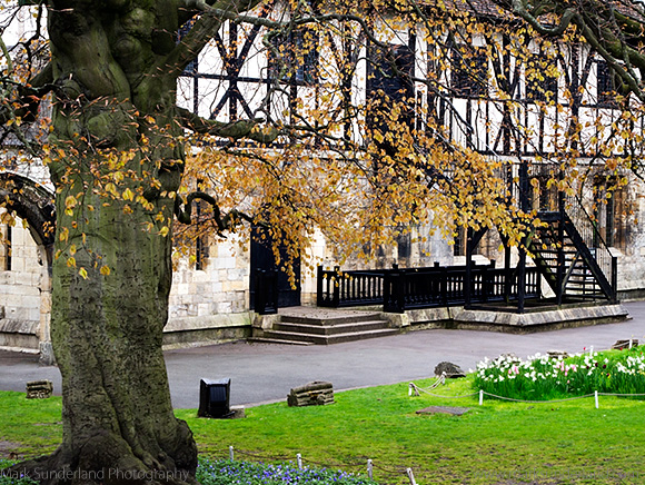 Beech Tree at The Hospitium in Spring, Museum Gardens, York, Yorkshire, England