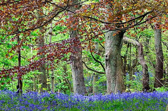 Bluebells and Colourful Foliage in Middleton Woods