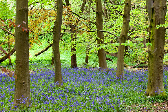 Bluebells and Beech Trees in Middleton Woods