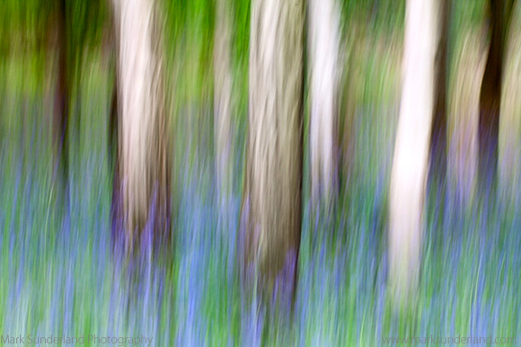 Impression of Bluebells and Silver Birch Trunks