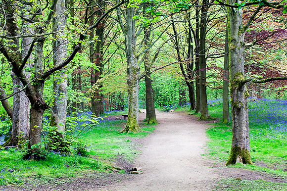Bluebells along a Path through Middleton Woods