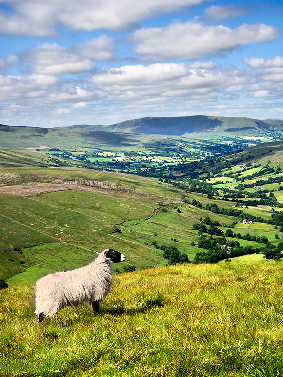 A Swaledale Sheep Stands Proudly on the Slopes of Great Knoutberry Hill Overlooking Dentdale Yorkshire Dales Cumbria England