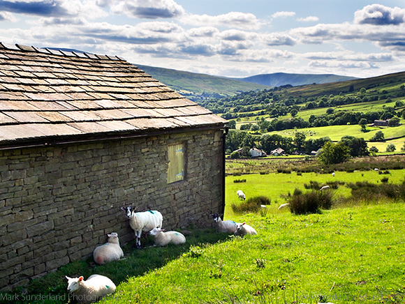 Sheep in the Shade of a Field Barn on a Sunny day in Dentdale Yorkshire Dales Cumbria England