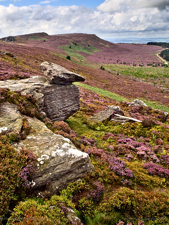 Heather in Bloom on the Simonside Hills from Dove Crag near Rothbury Northumberland England