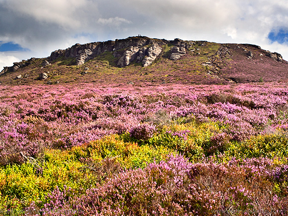 Simonside Hill and Heather Moorland in Summer near Rothbury Northumberland England