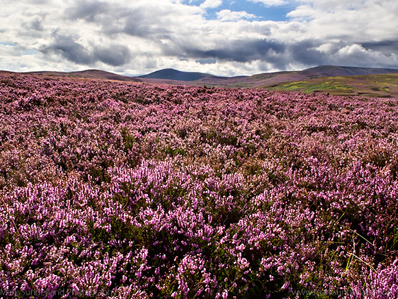 View over Heather Moorland to The Cheviot