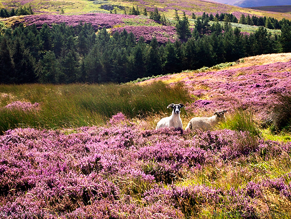 Two Sheep Grazing in Heather Moorland