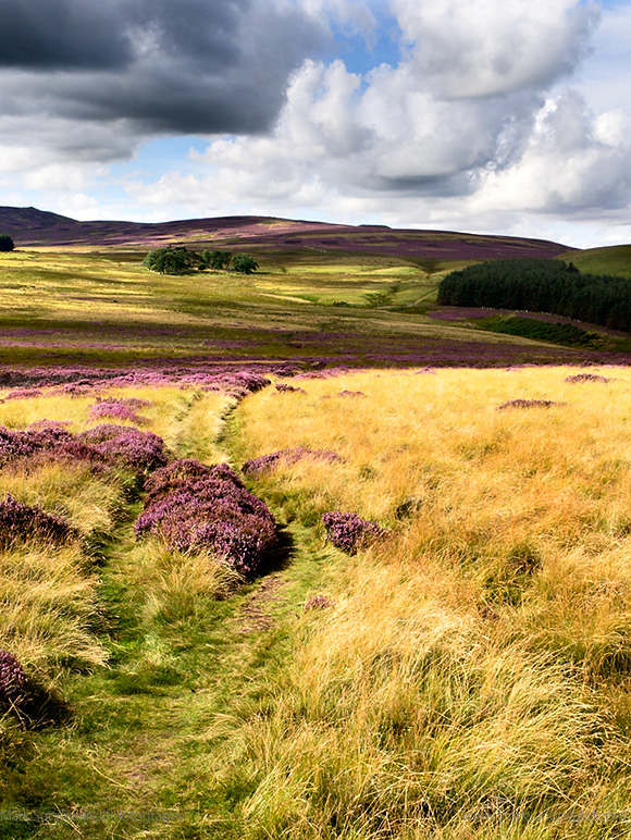 The St Cuthberts Way over Heather Moorland near Wooler