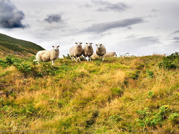 Sheep on the Slopes of Humbleton Hill near Wooler