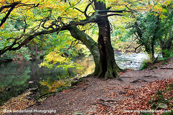 Beech Tree by the River Nidd in Spring Wood Nidd Gorge Woods near Knaresborough North Yorkshire England