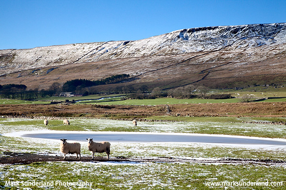 Sheep by a Frozen Pool below the Slopes of Whernside