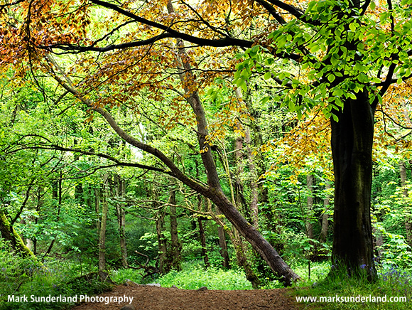 Spring Foliage in Middleton Woods Ilkley West Yorkshire England