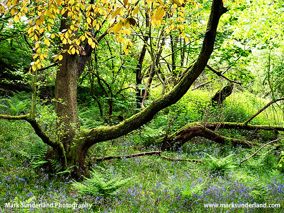 Mossy Tree in Spring in Middleton Woods Ilkley West Yorkshire England