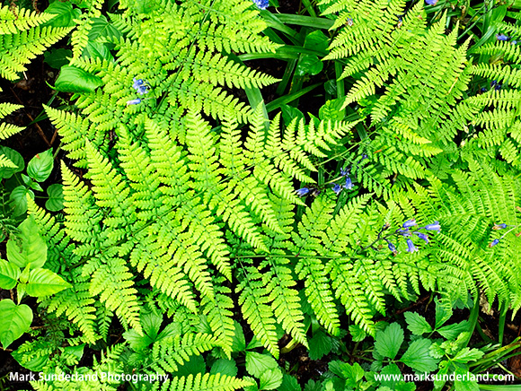 Fresh Forest Ferns and Bluebells in Middleton Woods Ilkley West Yorkshire England