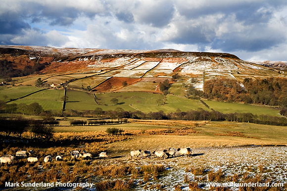 Sheep Grazing in Farndale in Winter North York Moors National Park England