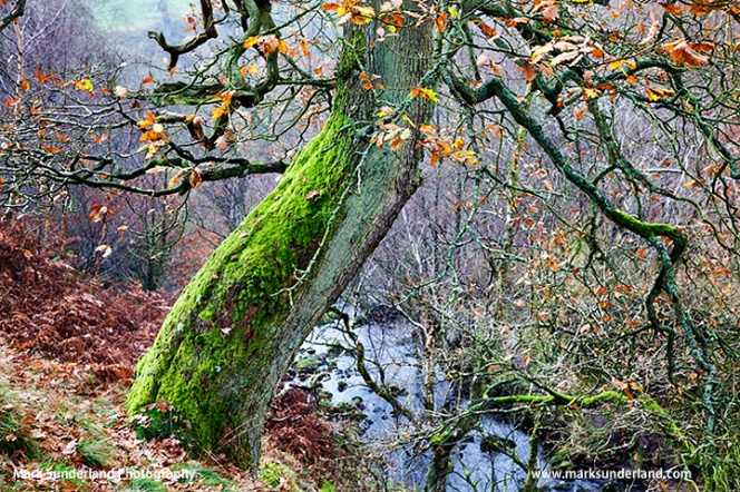 Autumn Tree near Bolton Abbey