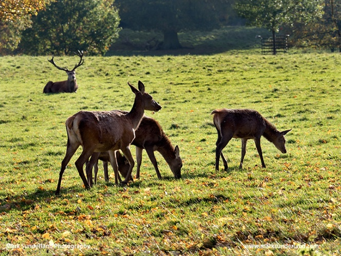 Red Deer Grazing at Studley Royal