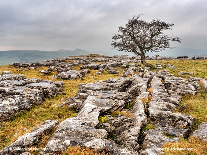 Lone Tree at Winskill Stones