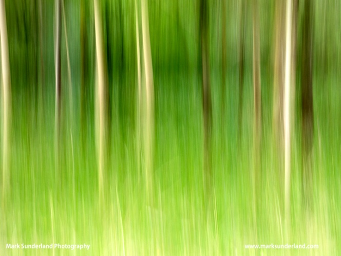 Birch Trees in Spring Bolton Abbey