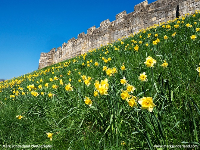 Daffodils at the City Wall in York