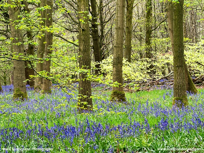 Bluebells in Hollybank Wood near Ripley