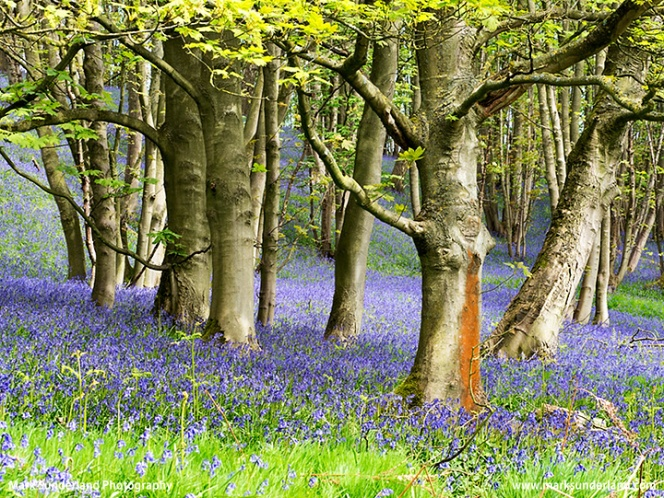Bluebells in Barsneb Wood near Ripley