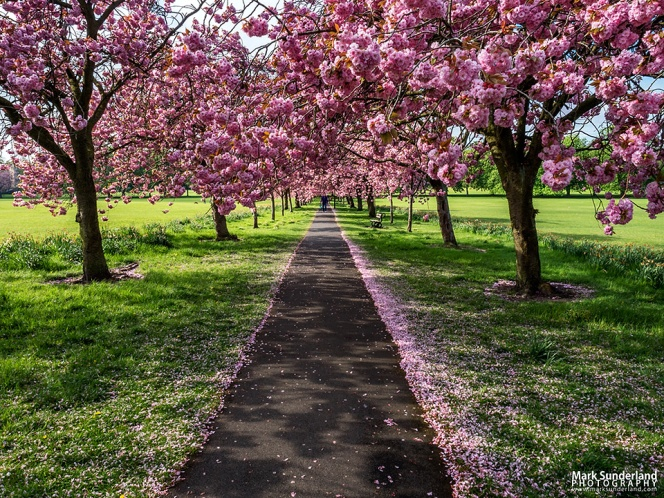 Path through Cherry Blossom in Spring on The Stray at Harrogate