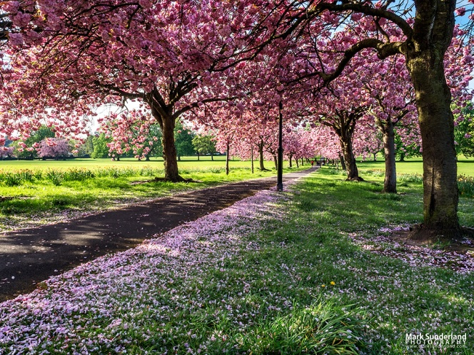 Path through Cherry Blossom in Spring on The Stray