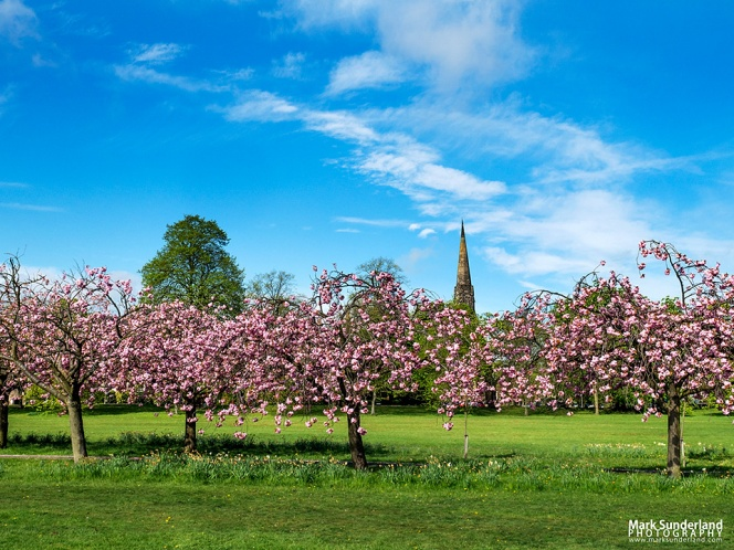 Cherry Blossom on The Stray with the spire of Trinity Methodist Church behind