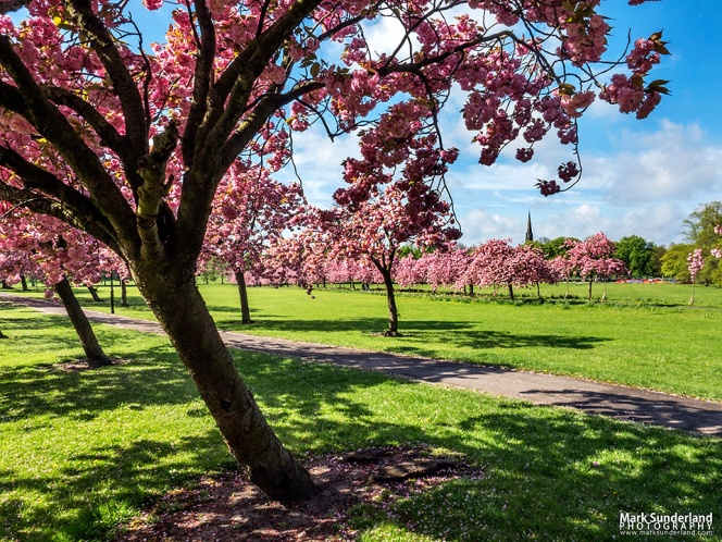 Cherry Blossom in Spring on The Stray with the spire of Trinity Methodist Church in the distance