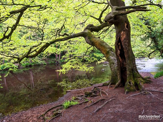 Spring Tree in Nidd Gorge Woods