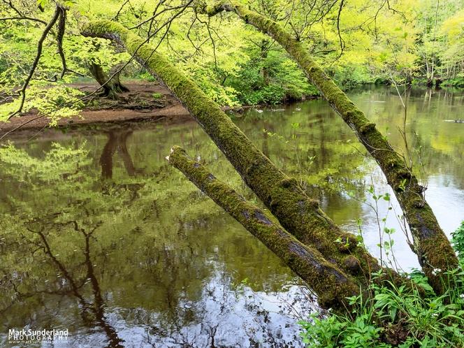 Riverside Tree in Nidd Gorge Woods