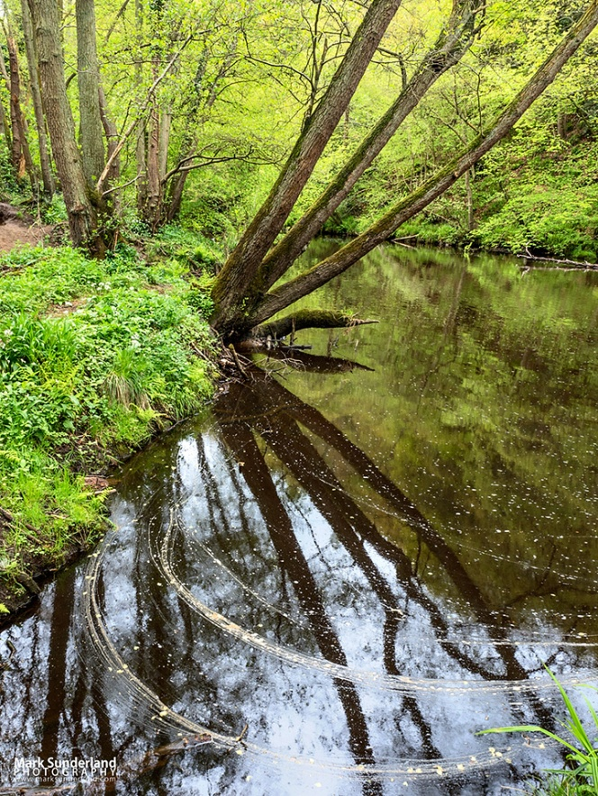 Tree reflected in the River Nidd at Scotton Banks in Nidd Gorge Woods