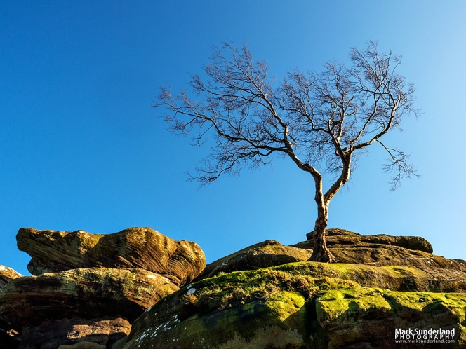 LLone tree clinging to gristone rock formations at Brimham Rocks