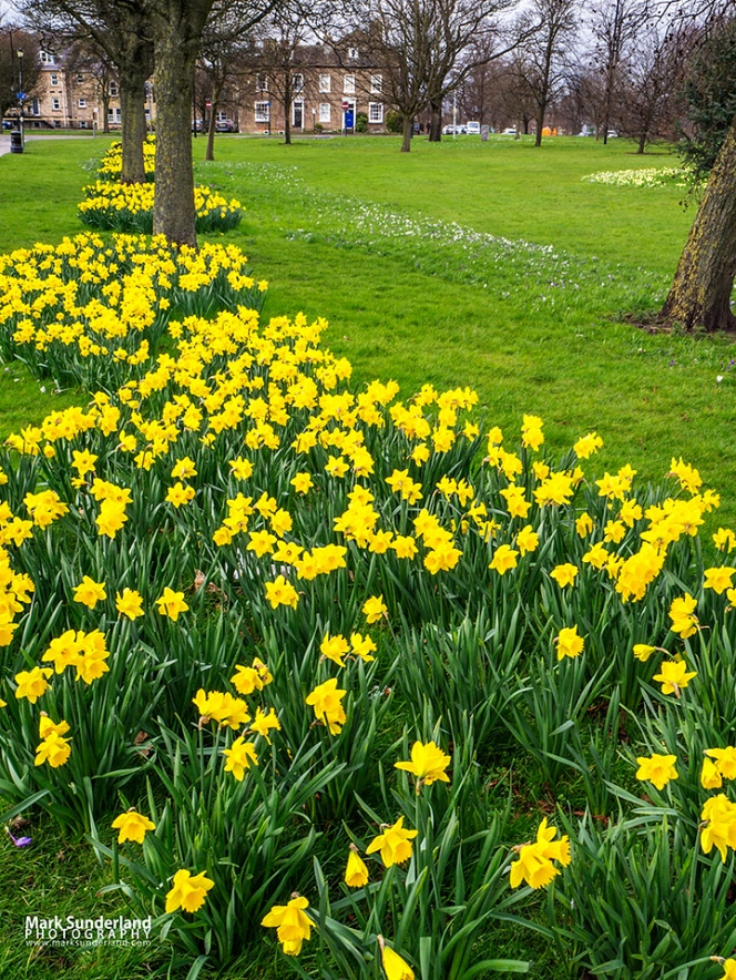Daffodils in bloom on The Stray in Harrogate