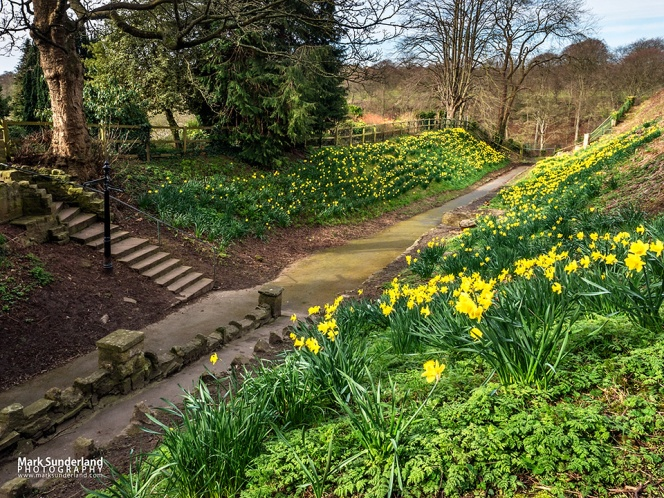 Daffodils in the moat at Knaresborough Castle and steps to Bebra Gardens